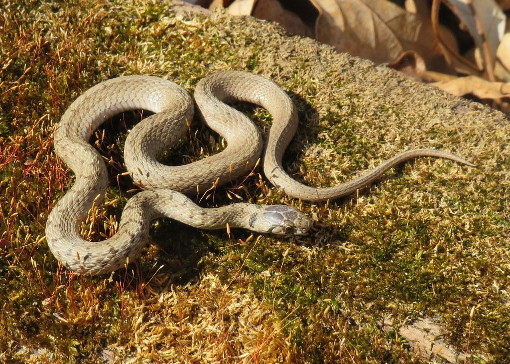 Dekay's Brownsnake