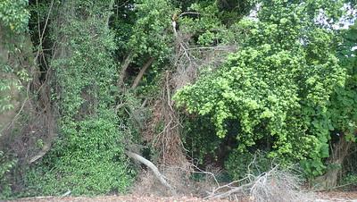 Tree fall at natural cliffs of Sentosa, Apr 2021