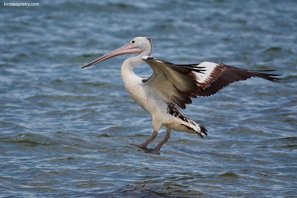 Australian Pelican: Controlled Descent
