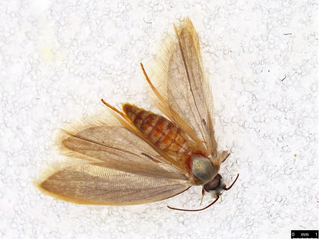 10 - Gelechioidea sp.