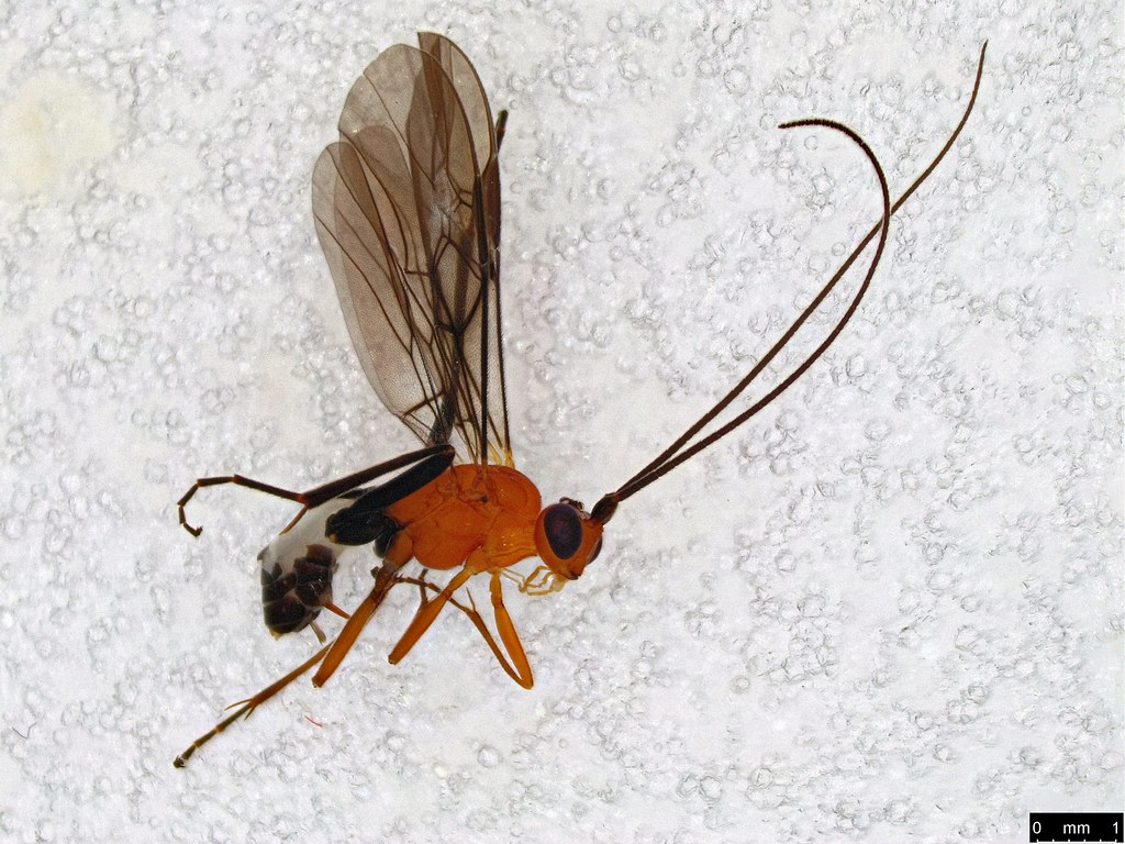 20a - Ichneumonidae sp.
