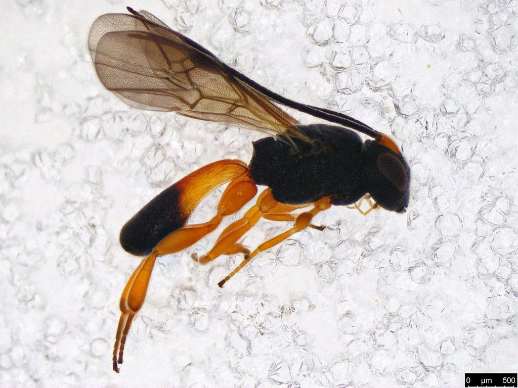 23 - Cheloninae sp.