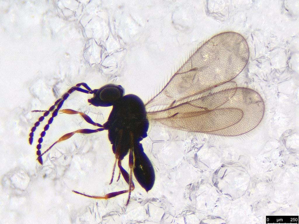 26 - Hymenoptera sp.