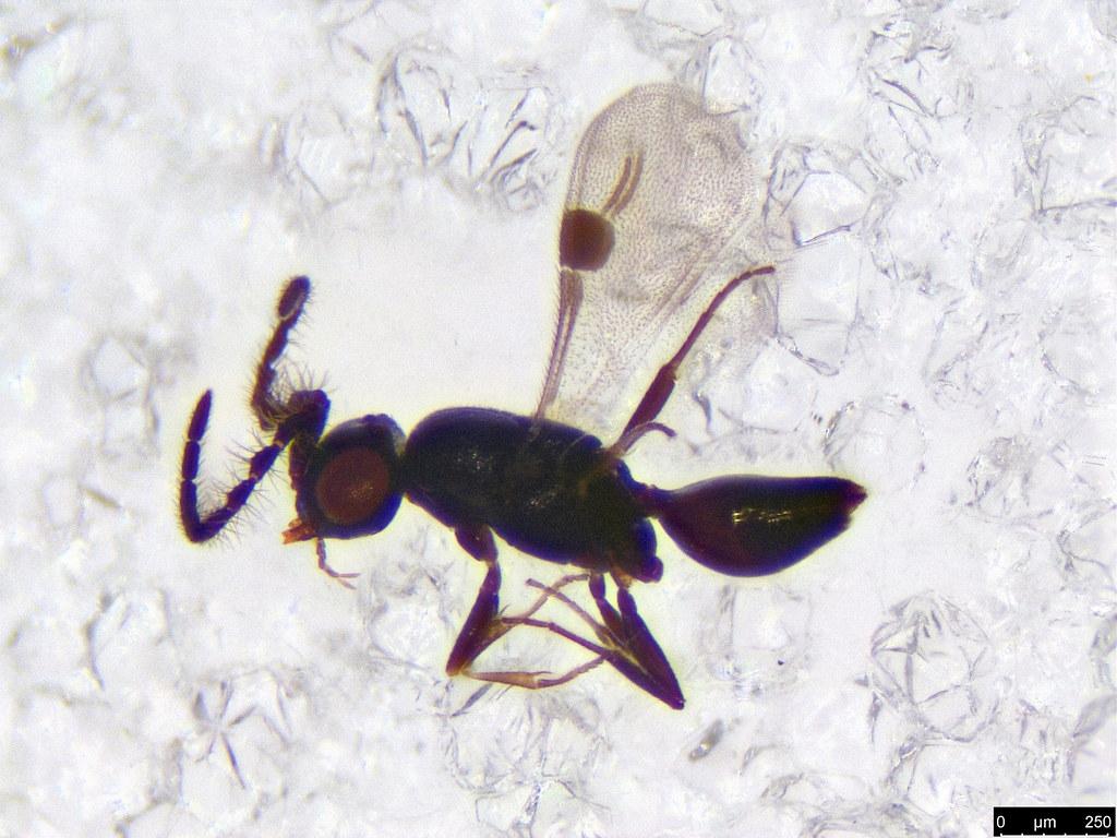 27 - Hymenoptera sp.