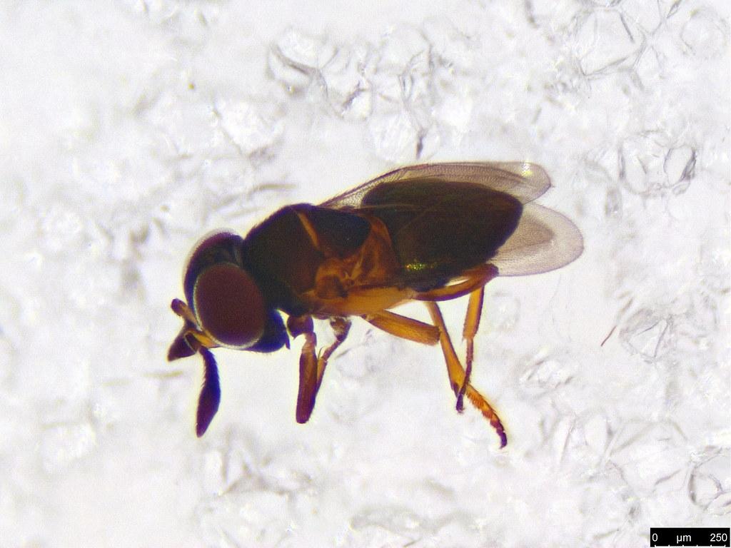 31a - Hymenoptera sp.