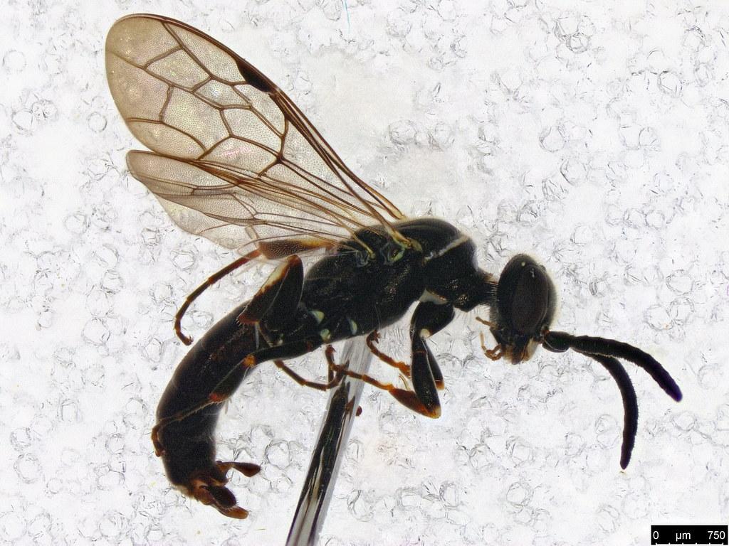 33a - Hymenoptera sp.