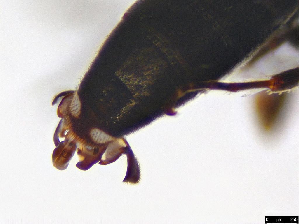 33b - Hymenoptera sp.