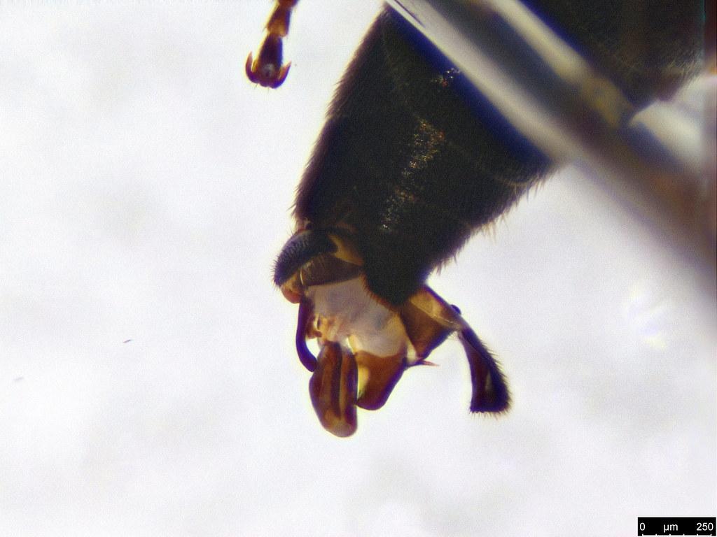 33c - Hymenoptera sp.