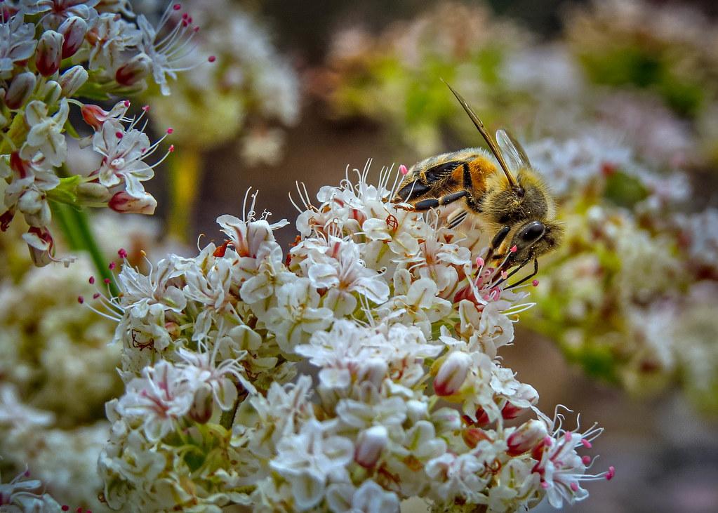 Honeybee Blossomfest