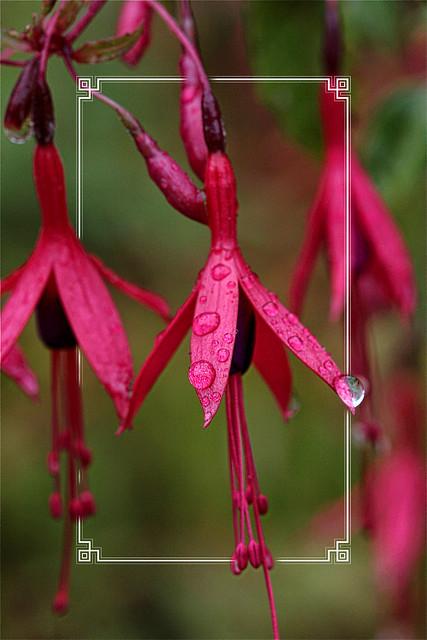 Fuchsia with Drops.