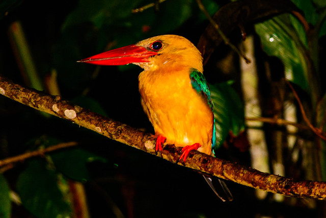 Stork Billed Kingfisher  1v4  Borneo 2014