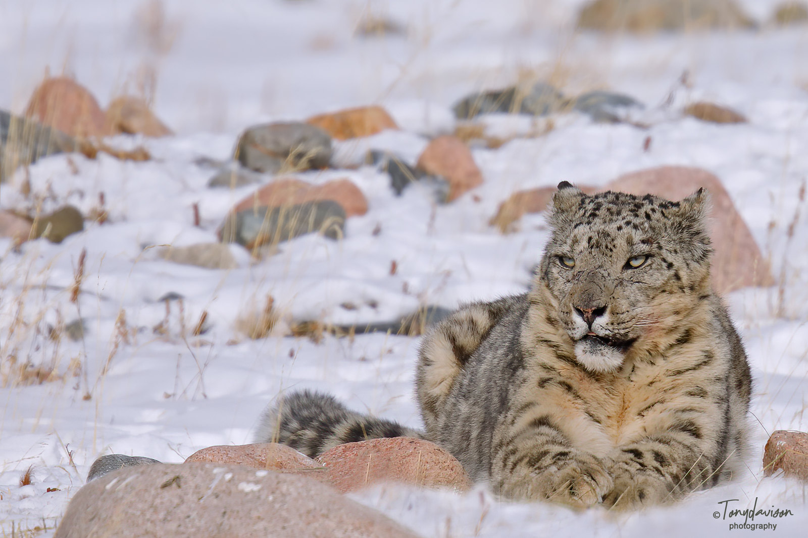 Snow Leopard / Panther uncia - male