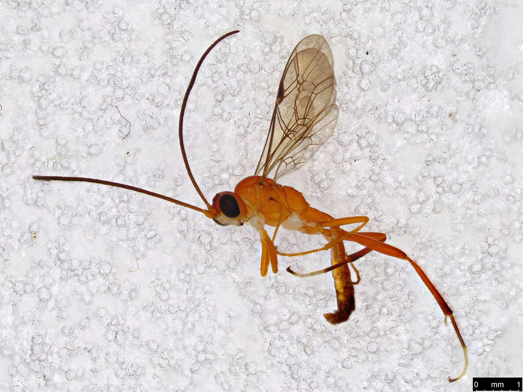 18 - Ichneumonidae sp.