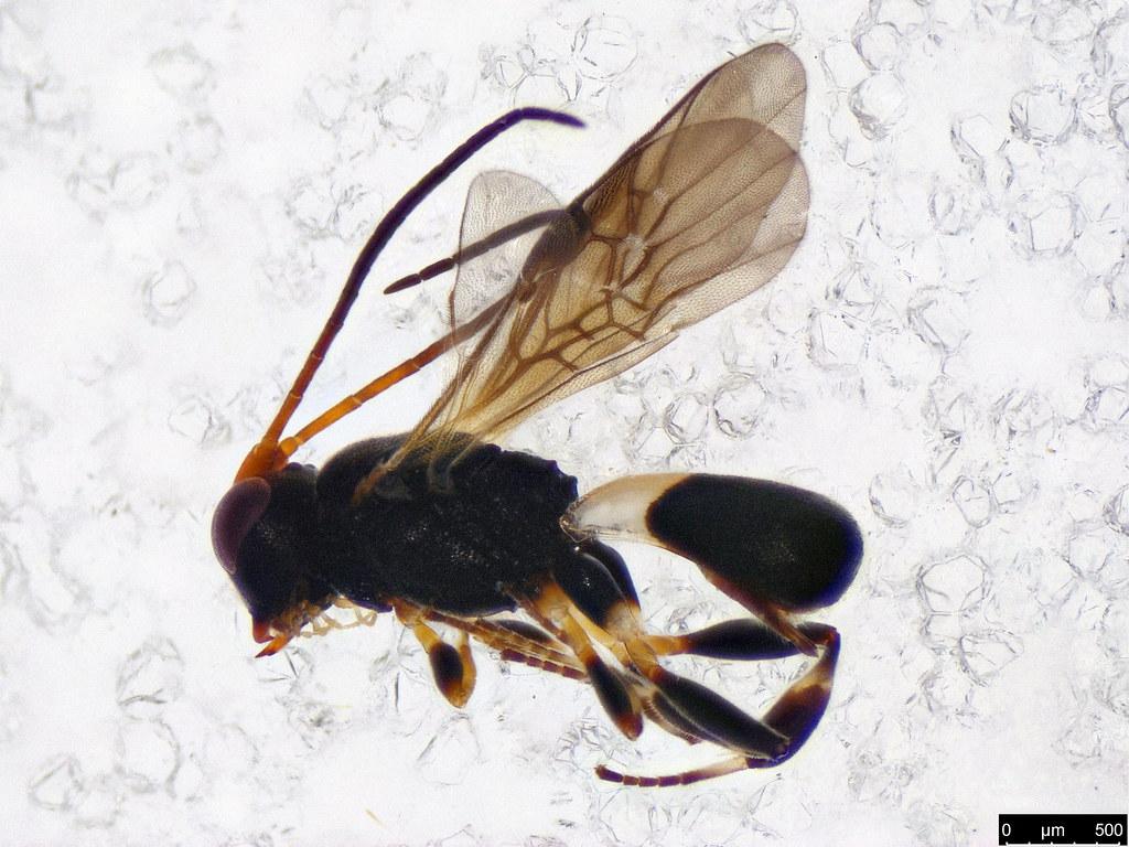 21 - Cheloninae sp.