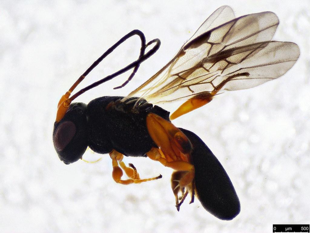 22 - Cheloninae sp.