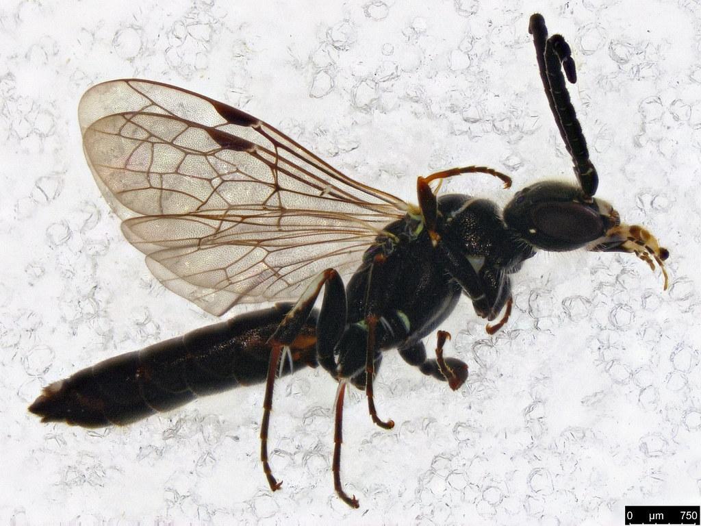 32a - Hymenoptera sp.