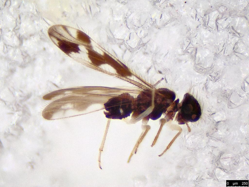 37 - Psocodea sp.