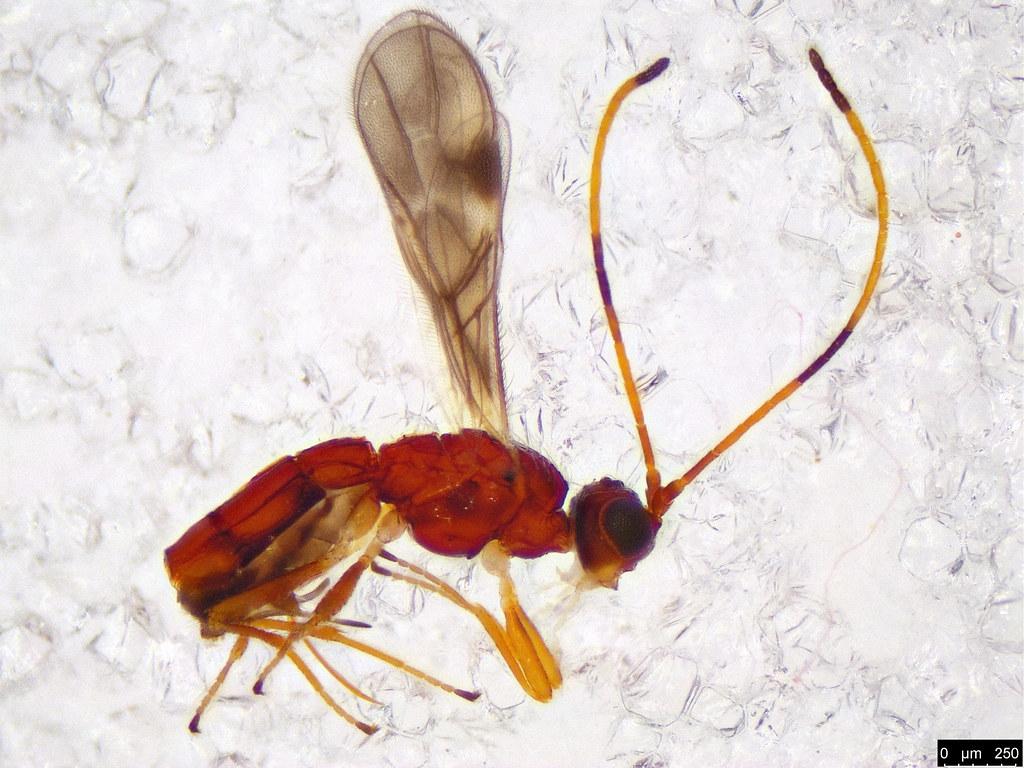 25a - Braconidae sp.
