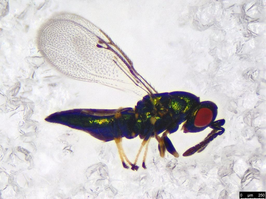 29 - Eulophinae sp.