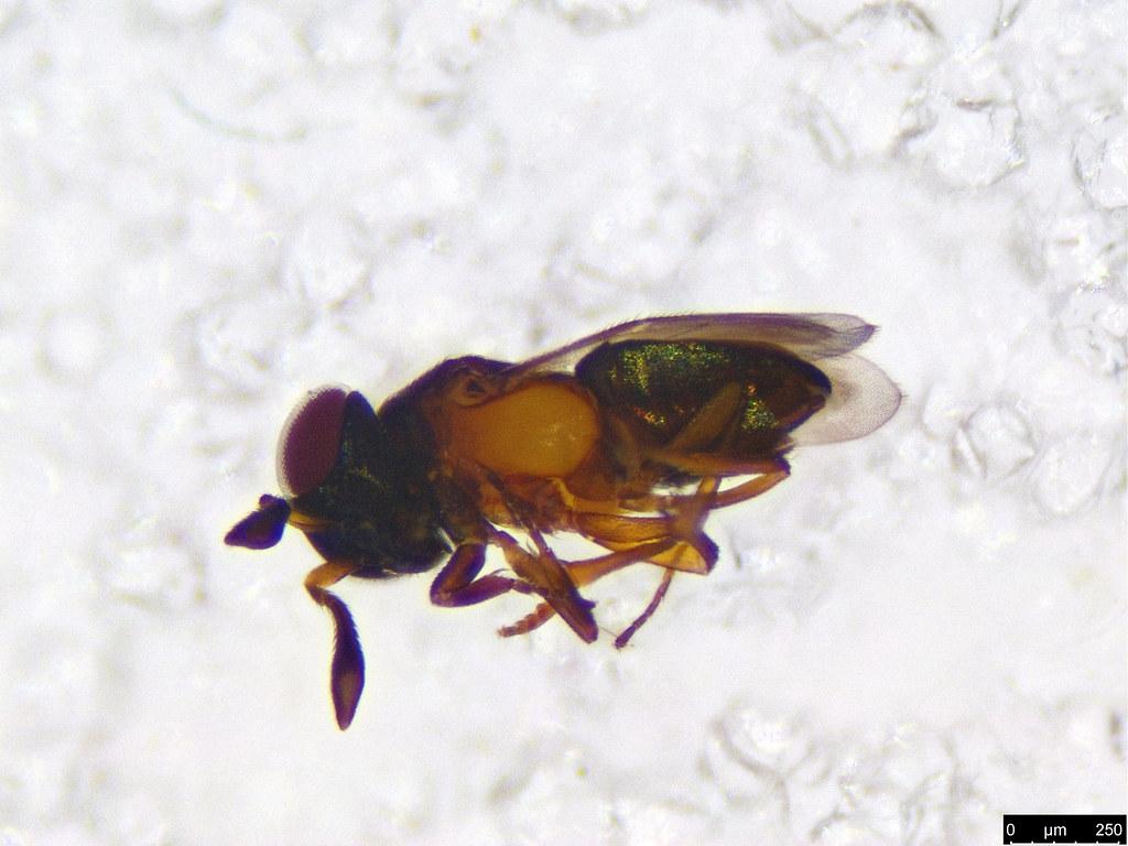 31b - Hymenoptera sp.