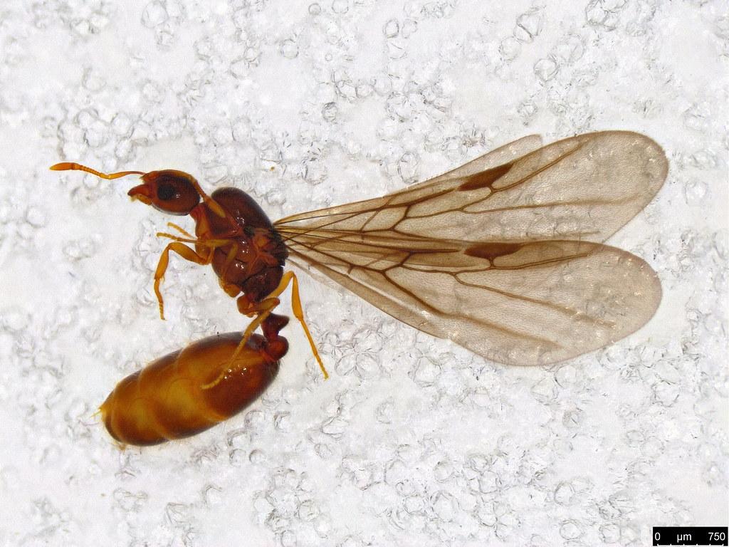 36 - Formicidae sp.