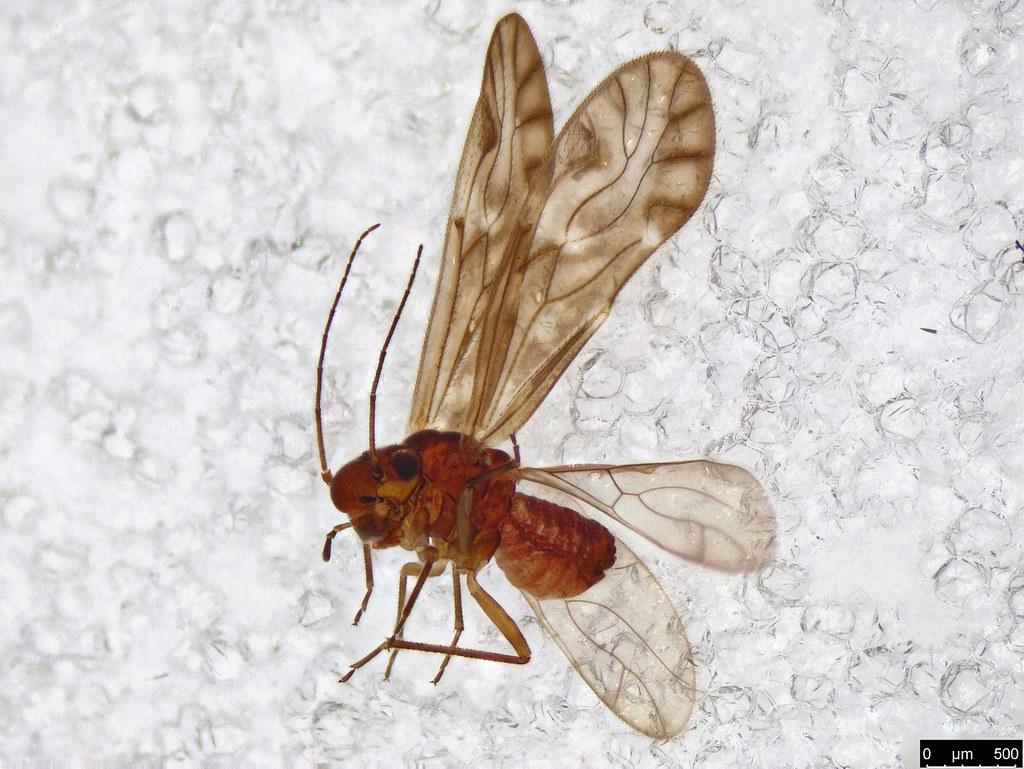 38 - Psocodea sp.