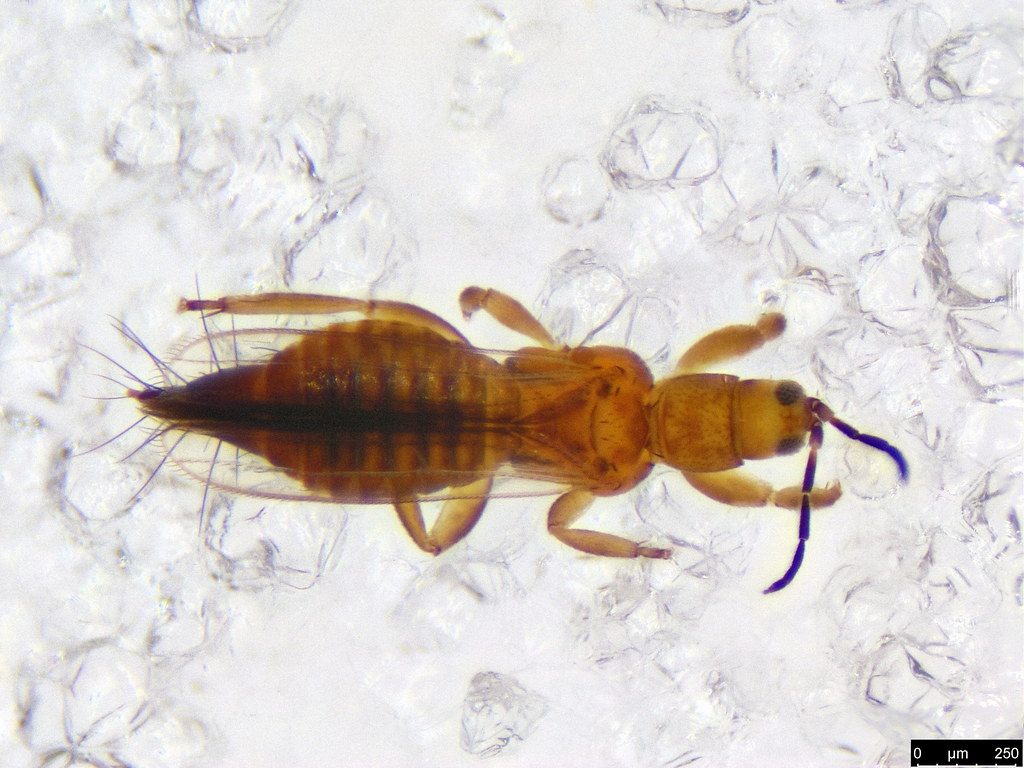 39a - Thysanoptera sp.