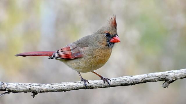 Female northern cardinal bird