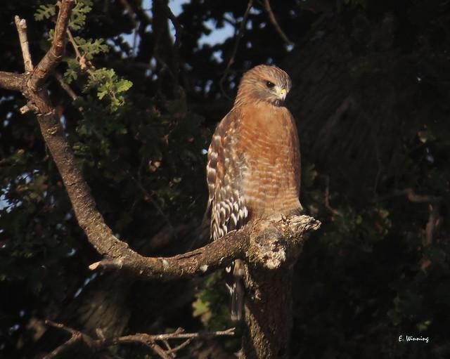 Red-shouldered Hawk 6909