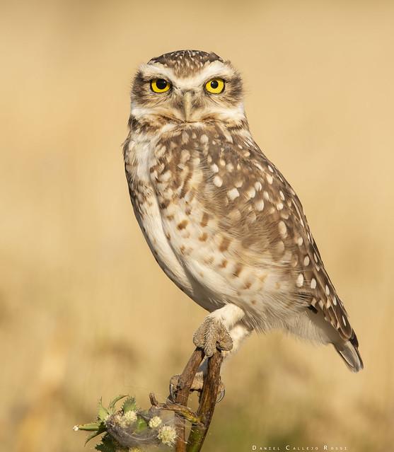 Lechucita de las Vizcacheras - Burrowing Owl - Athene Cunicularia