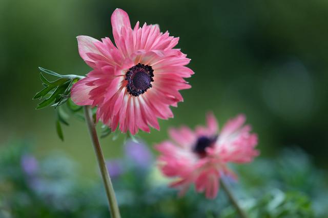 anemone 4438