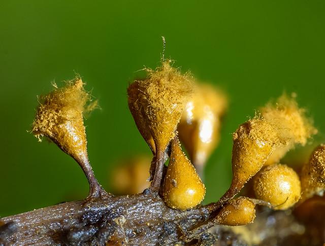 Hemitrichia calyculata 2