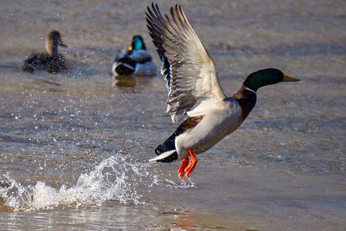 d500 tamron1004004563vcusd birds ducks birdinflight photoshopelements2020 topazdenoiseai saturatedslidefilmeffect viewnx2 cacorrection highqualityanimals