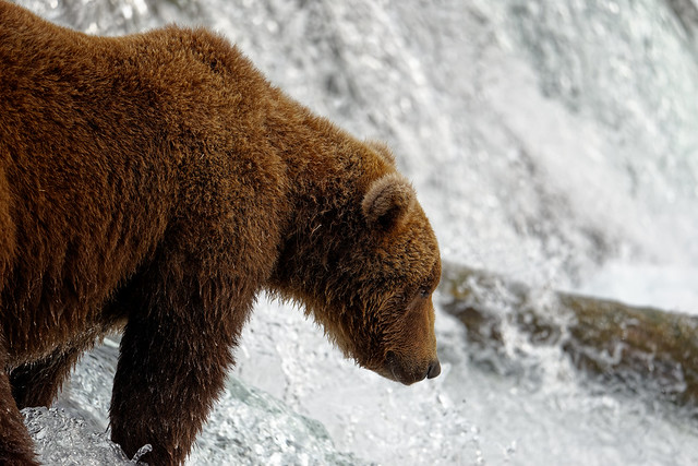 A Close-up View of a Brown Bear on the Edge of Brooks Falls (Katmai National Park & Preserve)