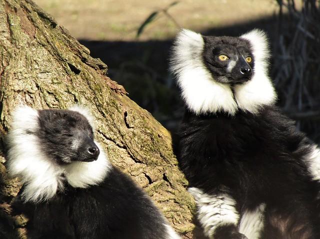 Lemur in Pakawi Park