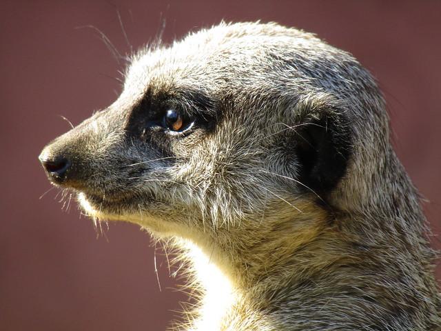 Meerkat in Pakawi Park