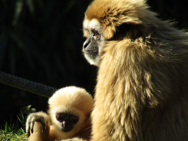 gibbon in Pakawi Park