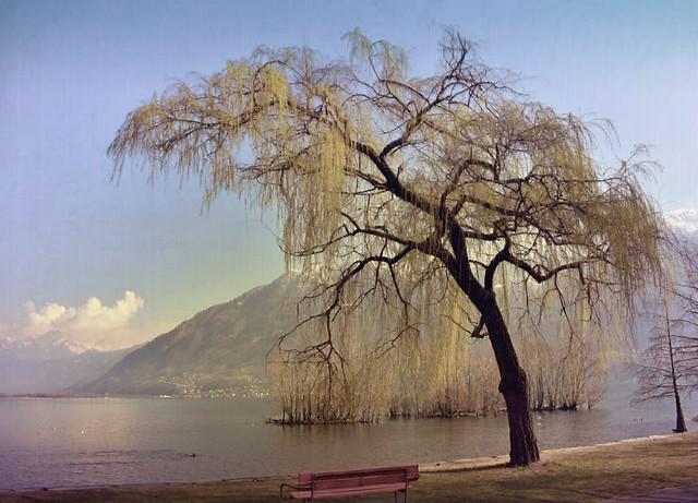 The Weeping Willow in Switzerland.