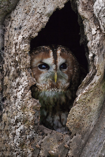 Tawny Owl peering out of a hole in a tree trunk
