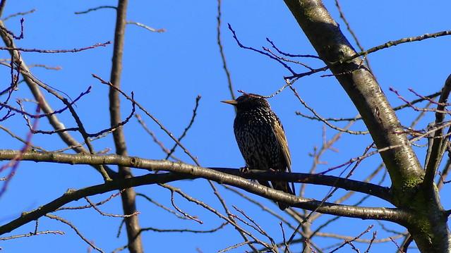 Star - Starling