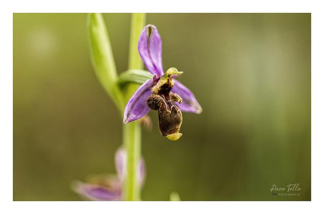 Orquidea silvestre. Ophrys Scolopax