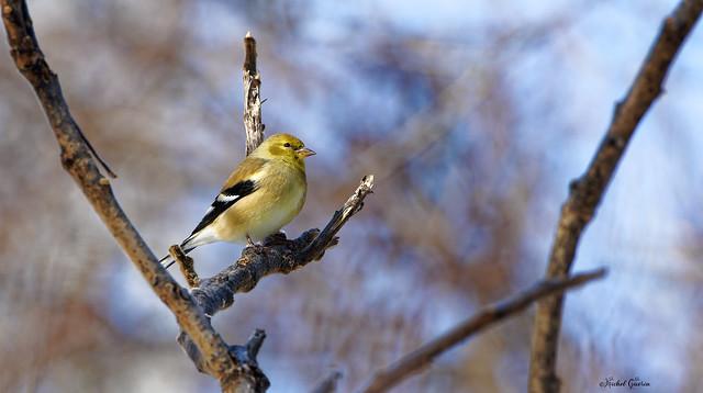 Chardonneret  Jaune - American Golgfinch - Spinus tristis