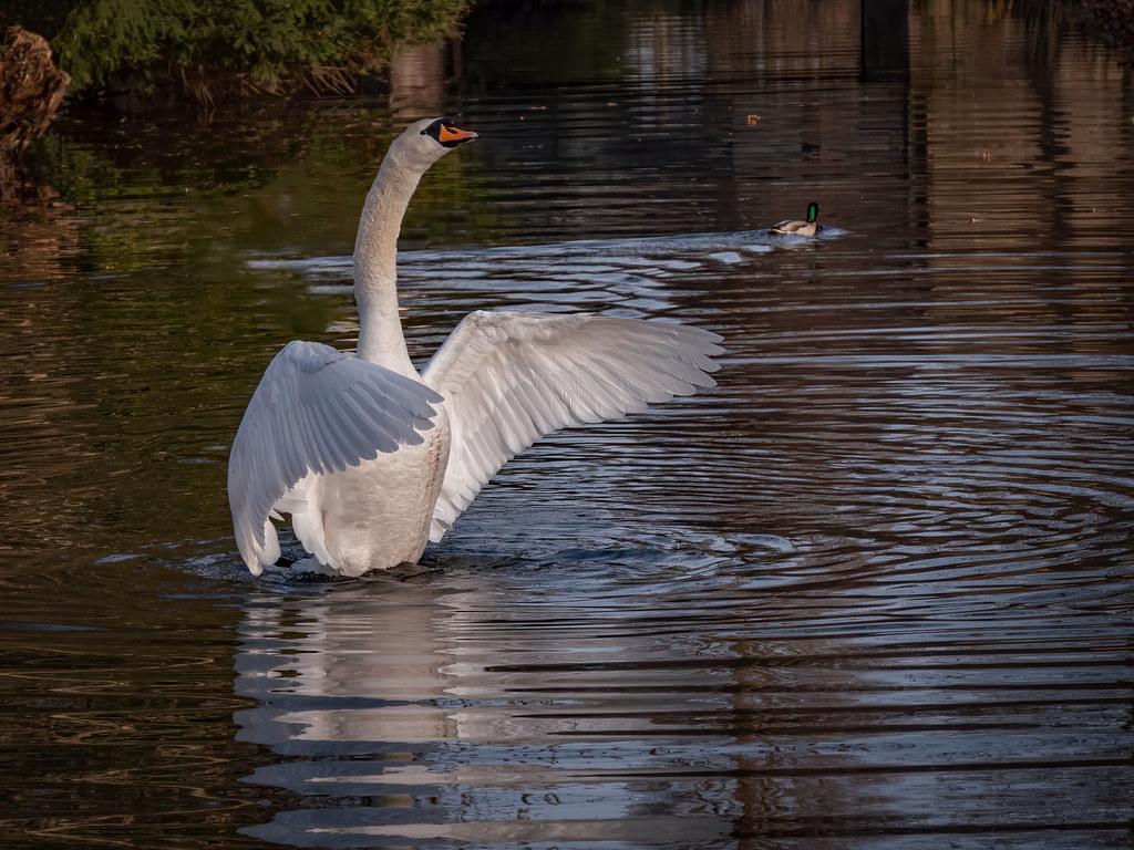 Swan rising... (- le colvert) 51021666897_8492f0fd4d_b