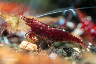 Red tri spot shrimp (Caridina sp.) - P3065439