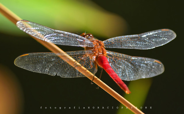 -LIBELULA...Dragonfly (Anisoptera) toma en botanico THAYS .! BUENOS AIRES .ARGENTINA.