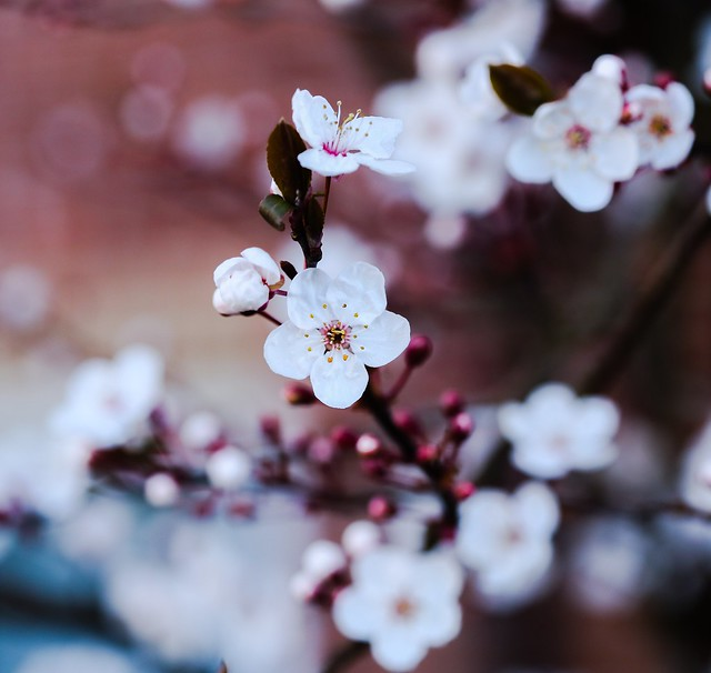 Blossoms in bloom