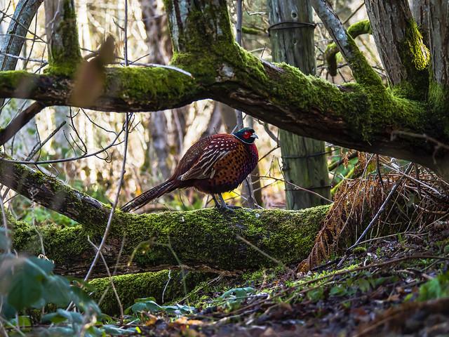 A Pheasant Day