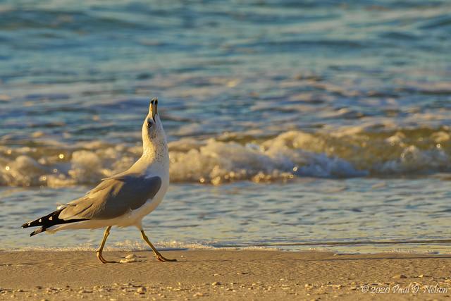 _PDN7578_Ring-billed Gull; Navarre Beach, Florida