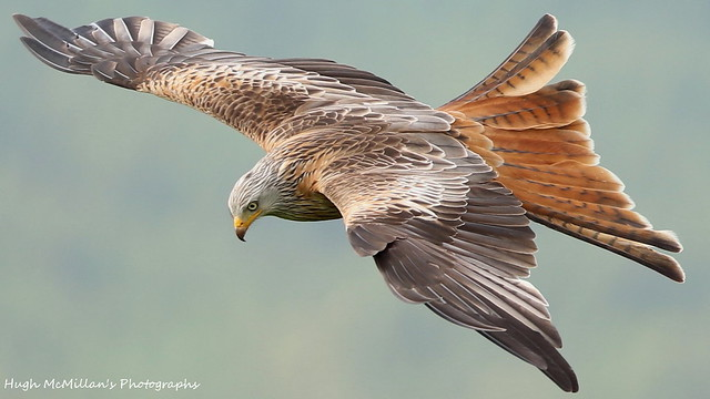Red kite, Laurieston, Scotland.