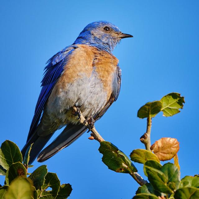 Perched: Western Bluebird
